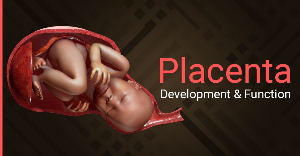 Placenta: Development & Function During Pregnancy